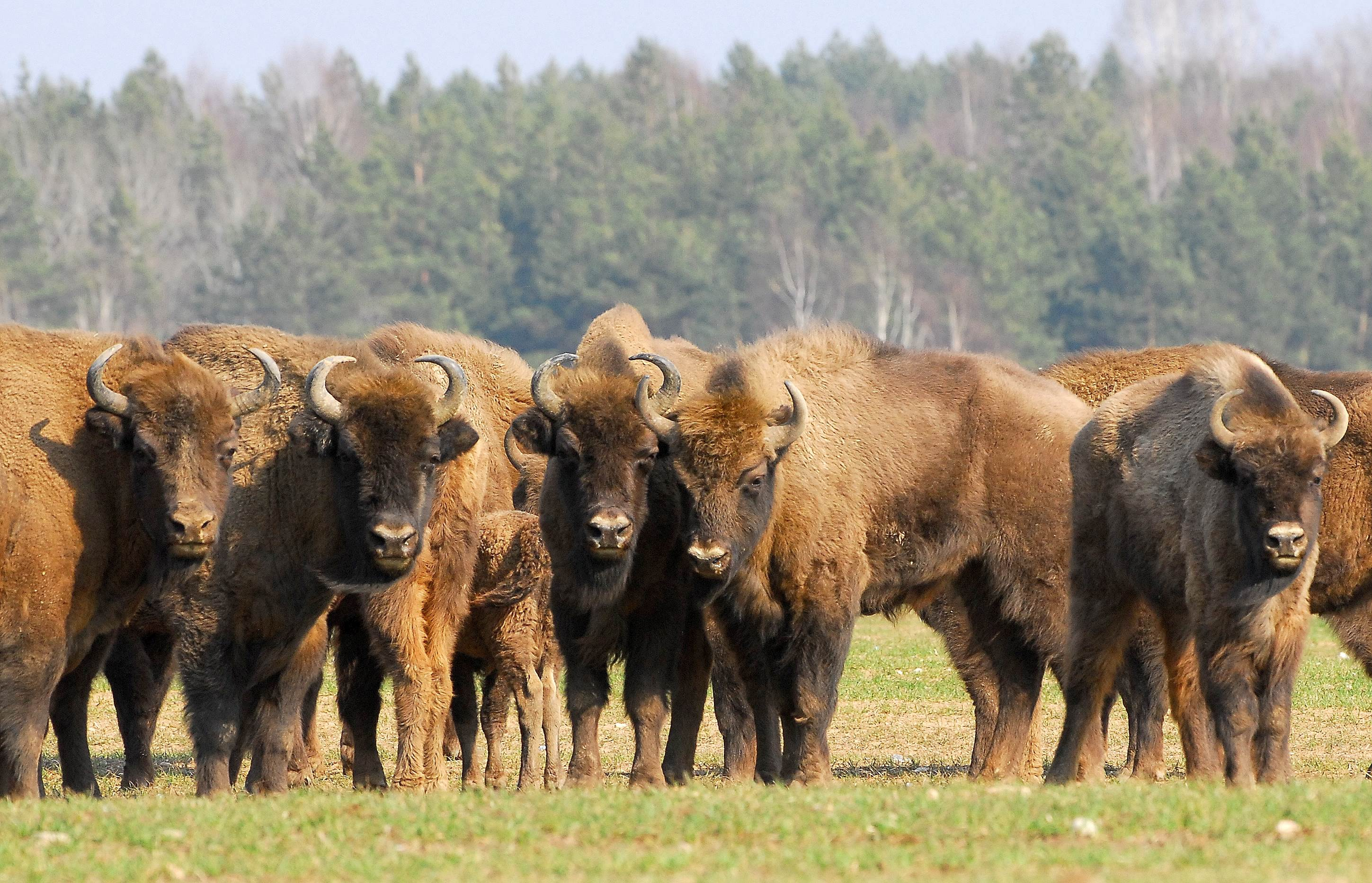 Mainstay of Bison